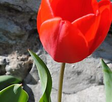 tulip #1 by goddarb