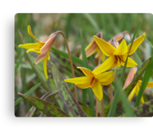 Trout Lily; Dog Tooth Violet- Erythronium americanum Canvas Print