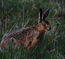 European or Brown Hare by Dave Godden