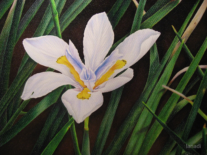 White butterfly iris by lanadi