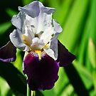 Iris by Phillip M. Burrow