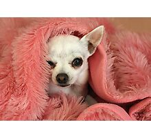 Chilly Chihuahua Photographic Print