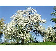 April Tree Photographic Print