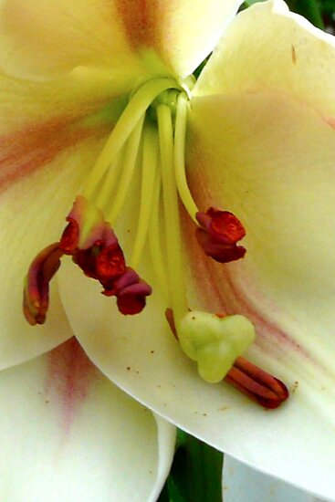 White Lily with Red Stamens by MaeBelle