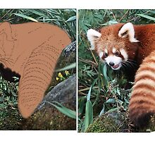 LESSER PANDA (Ailurus fulgens): A WORK IN PROGRESS (PLEASE READ BLURB) by DilettantO