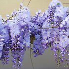 Wisteria by rasim1