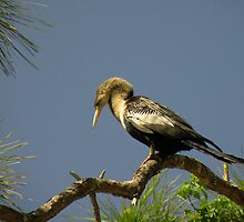 Female Anhinga by Rosalie Scanlon