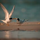 Least tern Courtship by Phillip  Simmons
