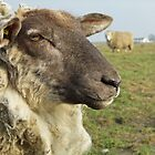 Portrait of a Sheep - 3 by Stefanie Köppler