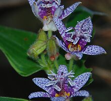 Tricyrtis (Toad Lily) by Anne Smyth