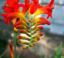 Crazy Orange Flower by ShutterlyPrfct