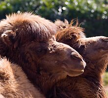 Camel Love by Maria Selley