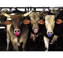 Bubble Gum Blowing Rodeo Bull Cows Western pop Art Southwest Cowboy culture Photographic Print