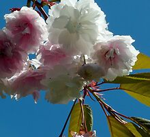 cherry blossoms by tego53