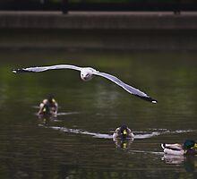 Seagull in Flight by Adam Bykowski