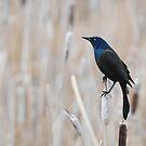 Common Grackle by Ron Kube