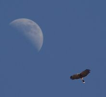 Harris's Hawk with Moon by PatGoltz