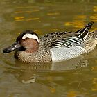 Garganey by Robert Abraham