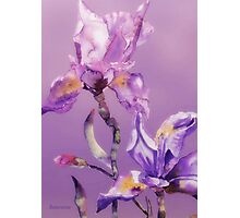 blue purple iris Photographic Print