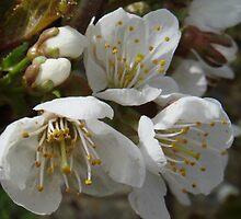 3 Plum Flower Blossoms by Sandra Cockayne