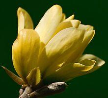 Magnolia flower -  Experimental Farm, Ottawa, Ont by Tracey  Dryka