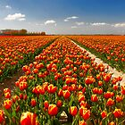 A few more tulips...... by Adri  Padmos