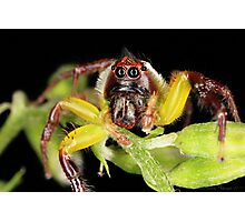 Green Jumping Spider - Male Photographic Print