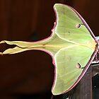 Luna Moth by Julie's Camera Creations <><