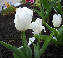 White Tulips And Rain Drops by Mimmie Hunter