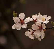Spring Tree Flowers by John  Sperry