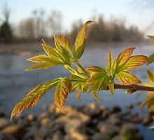 Box Elder leaves in Dawn light by NiftyGaloot