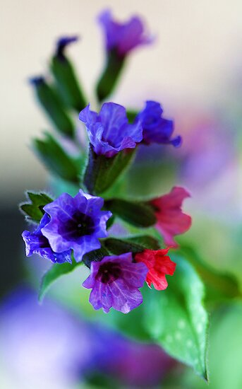 The Magnificent Mrs. Moon -- Pulmonaria by T.J. Martin