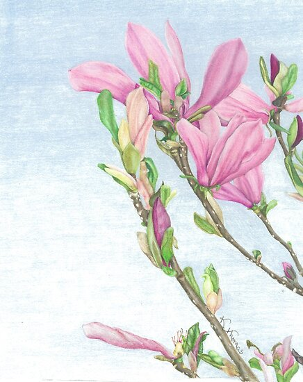 Magnolia Blossoms by Katherine Thomas