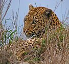 Spotted beauty - Leopard by Dan MacKenzie