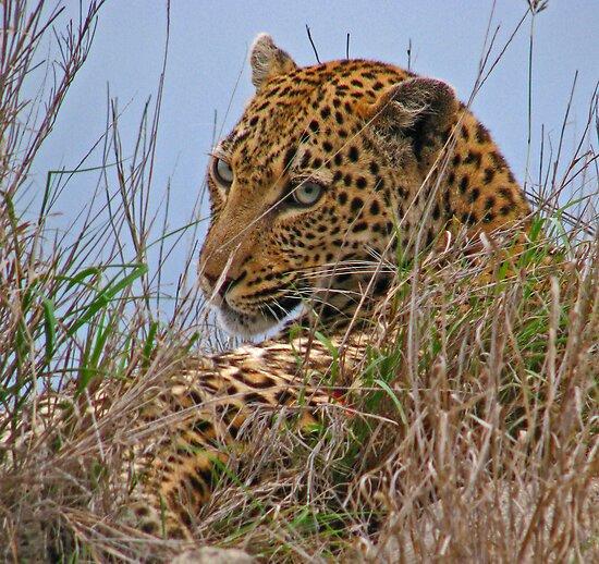Spotted beauty - Leopard by Dan MacKenzie