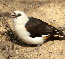 White Headed Buffalo Weaver by Robert Abraham
