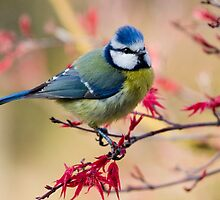 Blue Tit by Geoff Carpenter