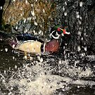 Carolina Duck Heads For A Shower by Stan Owen
