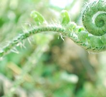 Youth of the Fern- Hypocotyl Hook Extended by Norble