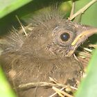 Baby Towhee by jsmusic