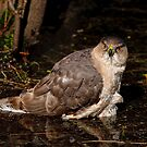 Coopers Hawk- Ottawa, Ontario by Michael Cummings