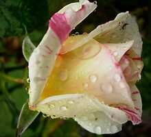 Cabana rosebud after rain by rococodreams