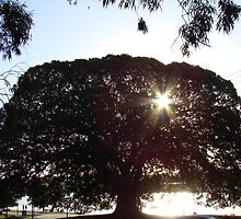 moreton bay fig tree by Jan Stead JEMproductions