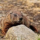 Ground Hog - Ottawa, Ontario by Michael Cummings