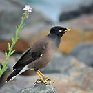 Indian Myna Bird by reflector