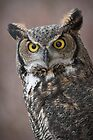 Great Horned Owl Portrait by Kathleen  Bowman