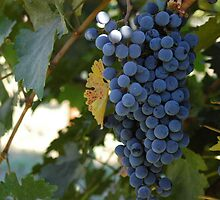 Wine Grapes by cookltd