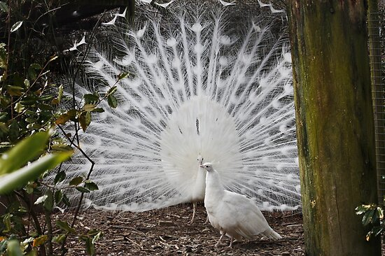 White Peacocks by AnnDixon