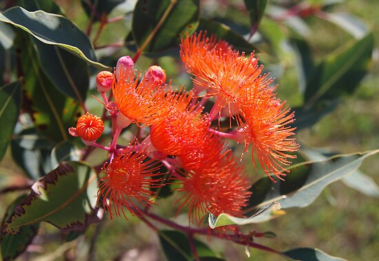 Orange Flowering Gum by Liz Worth