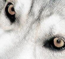 Northern Inuit Wolf Dog Eyes by MidnightRocker